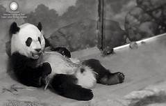 Good Morning Friends! (miner.marie) Tags: ccncby beibei smithsonian dczoo