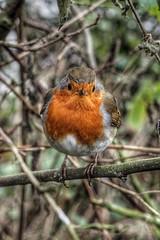Robin Redbreast (David Ward4) Tags: robinredbreast robin ruffordpark
