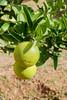 P1780248.jpg (brianduncan) Tags: garden malika atlas domaine fruit