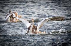 'Splash Down' - Mute Swan cygnet. (DP the snapper) Tags: birds wildlife uptonwarren worcestershirewildlifetrust muteswan splash cygnets