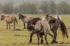 konikpaarden (Chantal van Breugel) Tags: dieren paarden konikpaarden oostvaardersplassen lelystad almere flevoland februari 2017 canon5dmark111 canon70300