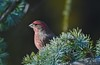 House Finch with beautiful colors! (ineedathis,The older I get the more fun I have....) Tags: male haemorhousmexicanus finch bird avian weepingatlascedar ornamentaltree tree branch bokeh garden nature winter nikond750 housefintch