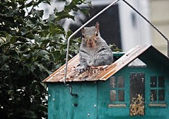 Who, me?-I'm just here to fix the roof (MissyPenny) Tags: easterngreysquirrel southeasternpa squirrel birdfeeder bristolpennsylvania buckscounty usa