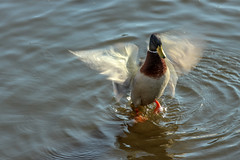 wings 9974 (Yvonne Blokland) Tags: water animals duck nature fauna