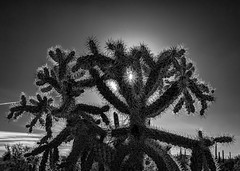 Sun and cactus spines (docoverachiever) Tags: sunburst 4752 backlit spines jumpingcholla desert cholla nature opuntiafulgida plant cactus arizona sharp blackandwhite sunset tucson arizonapassages
