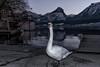 (FackFoto) Tags: wolfgangsee österreich austria see lake schwan swan berge mountains