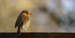 Enjoying the sunshine (SteveJM2009) Tags: erithacusrubecula robin cold sun detail feathers plumage hwt blashfordlakes hants hampshire uk winter january 2017 stevemaskell naturethroughthelens