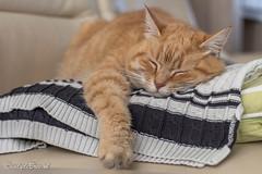 Week 2, Cindy de Bree (cindydebree.nl) Tags: fotoproject 3x502017 3x50 poes liggend liggen sleepy slapen sleeping lazy luieren lui huisdier pet animal dier 50mm18stm 50mm feline canonnl canoneos100d canon vegeterian6 orange oranje rood red rodekater kater katze katje cat kat