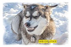 Inside Joke (DGC Photography.ca) Tags: huskycross husky grin dogsmile mixedbreed smile squintysmile dog calgary canada alberta snow dougcallow dgcphotographyca edworthypark littledoglaughedstories