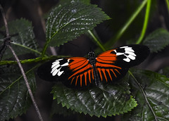 Madeira Butterfly (C. P. Ewing) Tags: butterfly butterflies animal animals insect insects wings winged beautiful madeira heliconius melpomene nature natural outdoor wildlife red green plant plants postman