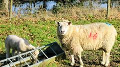 Mum and Daughter having a drink (Mark Rainbird) Tags: powershots100 sheep canon lambs uk ufton uftonnervet england unitedkingdom gb