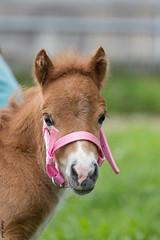"""Hallo :-)"" (HendrikSchulz) Tags: wolke pony pferde pferd 2015 fohlen animalphotography schneewittchen tierfotografie stute minishetty pferdefotografie horsephotography friesenstallweh friesenstall hendrikschulz hendriktschulz friesengestt friesengesttweh"