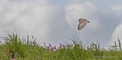 Bempton Barnie @ RSPB Bempton (snapp3r) Tags: yorkshire hunting cliffs barnowl birdsofprey rspb bempton fantasticnature