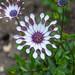 Osteospermum Phillipe