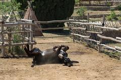 Playful Donkey - Temps de Terra (Amposta - Catalunya) (agustiam) Tags: pets nature animal donkey delta catalonia burro asno catalunya playful amposta ase deltadelebre tempsdeterra