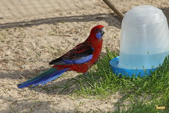 33. Pennant parrot / Попугай Пинант
