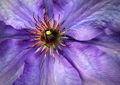 clematis The President (perseverando) Tags: flower purple president clematis climber perseverando