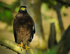 Crested Serpent Eagle (udithawix) Tags: bird