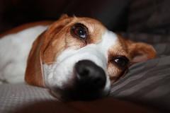 IMG_9122 (ThickCpl) Tags: dog beagle sigma 1770mm f284