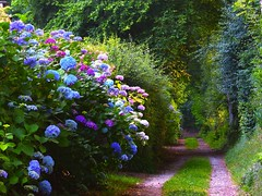 On the light path (Ker Kaya) Tags: nature flowers hydrangea hortensia blue purple pink beauty kerkaya fz200 path chemin light france summer green trees leaves blossom fdekerkaya ker kaya artist photography dmcfz200 kerkayaphotography