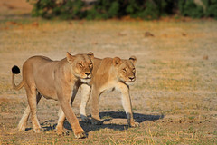 Cecil's Lionesses (paulafrenchp) Tags: