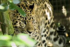 Kanika the young leopard at Marwell Zoo (RebeccaLouise Photography) Tags: black zoo golden wildlife conservation spots leopard felines endangered bigcats protect marwellzoo bestofcats