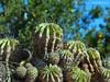Cactus (Mito Sarmento) Tags: cactus green natureza colonial colonia turismo rs rota dois irmãos mexerica bergamota romântica