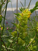 Aristate yellow rattle (aniko e) Tags: summer mountain yellow tooth purple meadow alpine rattle oberstdorf awn fellhorn rhinanthus orobanchaceae grannen 2000m klappertopf rhinanthusglacialis grannenklappertopf rhinanthusaristatus kakascímer aristateellowrattle