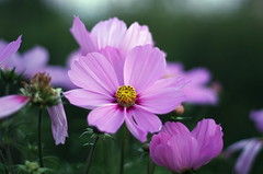Cosmos bipinnatus, Sweden 2015 (Stefano Rugolo) Tags: vacation summer sweden hälsingland hudiksvall colors flower pentaxk5 smcpentaxm50mmf17 bokeh cosmosbipinnatus stefanorugolo