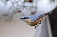 Sittelle torchepo (Sitta europaea) (thoma.michel05) Tags: nature birds alpes oiseaux hautes sauvage sitelle