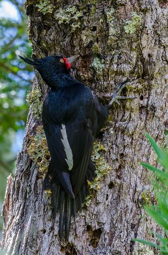 Carpintero negro hembra   Campephilus magellanicus   Magellanic woodpecker