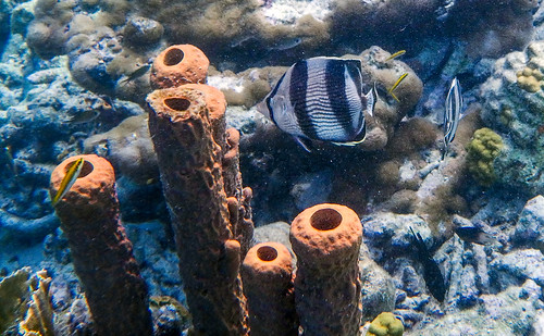 Banded Butterflyfish and tube sponges