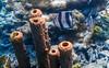 Banded Butterflyfish and tube sponges (Chalto!) Tags: fish sea swimming snorkeling snorkelling underwater bonaire abcislands dutchantilles westindies caribbean netherlandsantillies buterflyfish bandedbutterflyfish sponge tubesponge