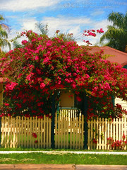 Bougainvillea Cottage by Kaye Menner (Kaye Menner) Tags: photography digitalpainting bougainvilleacottage bougainvillea redbougainvillea crimsonbougainvillea cottage fence picketfence creamfence federationstyle kayemennerphotography kayemenner flower flowers redflowers crimsonflowers redroof tinroof palms sky clouds grass home house building streetview floral redfloral flora redflora urban kayemennerfloral kayemennerurban red yellow green blue redyellow greenredyellow bougainvilleaart