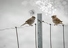 so which side of the fence are you on? (marianna_a.) Tags: bird conversation he she male female toomuchtalking shutup grrr enough hff fencefriday mariannaarmata birdonawire wire