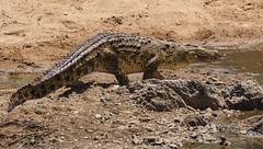 Just Passing By ... (AnyMotion) Tags: nilecrocodile nilkrokodil crocodylusniloticus reptile reptil sand 2015 anymotion nyabogatiriver serengetinationalpark tanzania tansania africa afrika travel reisen animal animals tiere nature natur wildlife 7d2 canoneos7dmarkii ngc npc