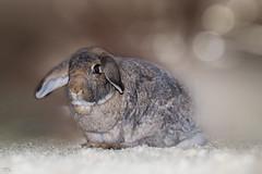"""Unser Stallhase der """"Klopfer"""" (roland_lehnhardt) Tags: canon ef85mmf18usm eos60d hase bunny rabbit pet tiere animals bokeh nahaufnahme portait tierportrait dof pov unschärfe tiefenschärfe schärfentiefe"""