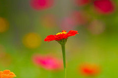 20140808_garden flowers_0061ee (zoomclic) Tags: canon closeup colorful dof dreamy flower foliage flowers bokeh green garden orange outdoors red pink yellow nature zinnia bright cheery 7d ef100400mmf4556lisusm zoomclicphotography bokehlicious