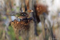 Chaffinch male.... (Silvio Sola) Tags: fringuello chaffinch uccello bird maschio fringilla coelebs silviosola