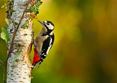 GREAT SPOTTED WOODPECKER ( Explore 01.01.2017 ) (tony.cox27) Tags: great spotted woodpecker bird wow