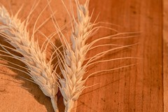 Unless A Kernel Of Wheat--HMM! (amarilloladi) Tags: bokehlicious two grains wheat wood kernelofwheat kernel redux2016myfavoritethemeoftheyear macromondays