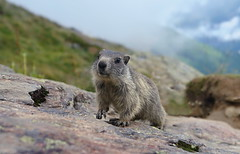 kids-marmot (welenna) Tags: alpen alps animals tier marmot murmeltier kids saasfee wallis