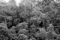Sandakan Rainforest Discovery Centre, Borneo, Malaysia (bm^) Tags: travel sandakan sabah maleisië rainforest discovery centre tree canopy walk top boom bomen trees forest rainforst oerwoud l park distagont228 distagon282zf nikon d700 bw blackandwhite black white blackwhitephotos zf2 zeiss carl nikond700 zwart wit zwartwit reis carlzeiss my