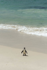Manchot du Cap-17.jpg (BoCat31) Tags: manchotducap faunesauvage afrique oiseau aquatique mer