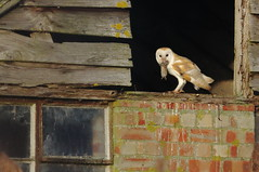 Barn Owl and Prey (EddieFinnis) Tags: vole mammal ghostly britain england 7d llens canon home opening wildlife nature animal wild aware look stare death life suffolk fen reedbed fenland ghost white quiet hunting hunter predator prey preypredator morning barnowl owl hut barn