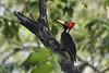 Pic à bec pâle - Pale-billed Woodpecker (Judith Lessard) Tags: oiseaux birds oiseauxdumexique oiseauxdehuatulco birdsofhuatulco pic woodpecker picàbecpâle palebilledwoodpecker
