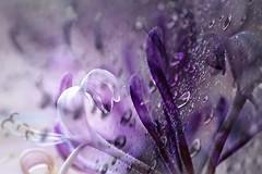 22/365 Honeysuckle. HSS! (Small and Beautiful) Tags: honeysuckle macro smallandbeautiful d3100 purple flower