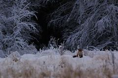 Att ta sig oftare ut i naturen med kameran (m.rsjoberg) Tags: fs170122 fotosöndag fotosondag lofte räv fox animal djur natur nature wildlife wild forest skog stumsnäs flytvägen promise canon 70d sigma 150600mm 600mm dalarna dalecarlia sweden sverige rättvik löfte tema theme