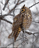 Long-eared Owl Looks Right (dcstep) Tags: n7a0267dxo aurora colorado unitedstates us perched owl longearedowl raptor birdofprey snow cold freezing cherrycreekstatepark canon5dmkiv ef500mmf4lisii ef14xtciii allrightsreserved copyright2017davidcstephens dxo optics pro 1131 natureurban urban nature sanctuary pixelpeeper ngc
