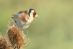 Goldfinch (Andrew_Leggett) Tags: goldfinch cardueliscarduelis winter sunsine bird feeding teasel closeup rspboldmoor andrewleggett